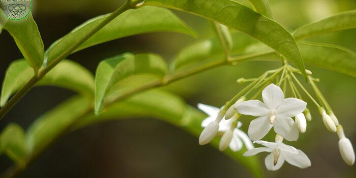 ต้นโมก ไม้ประดับมงคล ส่งกลิ่นหอมหวาน 1000maideeบทความ