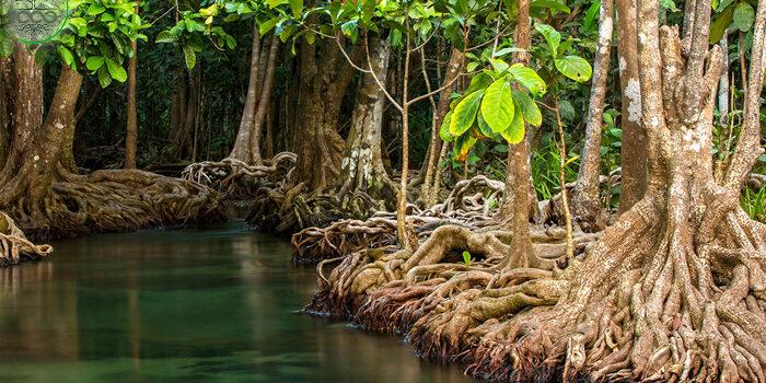 พันธุ์ไม้ป่าชายเลน มีความสำคัญต่อโลกของเราอย่างไร 1000maideeบทความ