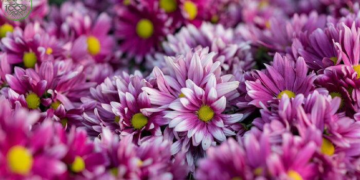 ต้นเบญจมาศ ไม้ดอกมงคล ที่มีการซื้อขายดอกเป็นอันดับ 2 1000maideeบทความ