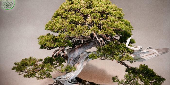 บอนไซญี่ปุ่น การปลูกไม้ประดับในกระถางที่มีชื่อเสียงที่สุด 1000maidee บทความ
